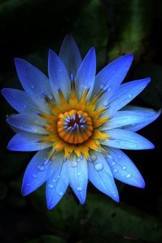 Blue water lily with gold crown