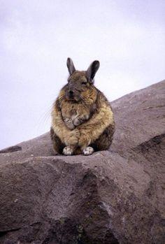 super fat bunny!