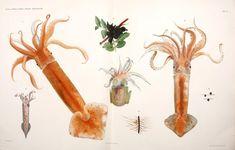#sealife #squid #marine #cephalopods