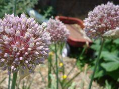 Garlic Blooms