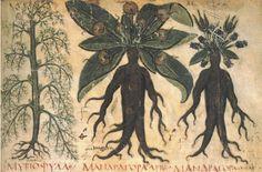 mandrak, magic, naples, book, plants, medicin, harry potter, illuminated manuscript, the roots