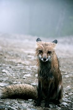 A fox caught in the rain