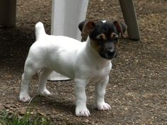 A baby Rat Terrier, so cute