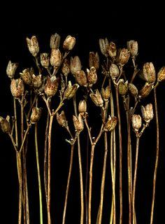 Hemerocallis seed pods, by horticultural art, via Flickr