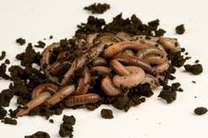 Don't let worms stranded on a sidewalk go to waste. Salvage stranded worms.   Xplor