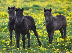 Three Shetland pony foals by Frances Taylor.