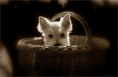 West Highland Terrier. Reminds me of our old westie, Bella.