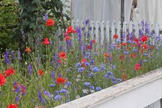 Poppies and corn flowers Colonial Nursery, Colonial Williamsburg, by Justine Hand for Gardenista. What a vibrant combination!