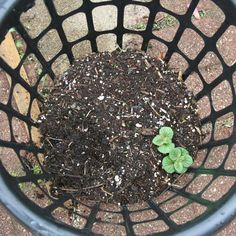 "I bought the laundry baskets at a local dollar store (I have 2 baskets).  I filled the baskets with about 2"" of soil & compost, then put a seed potato into each basket (each potato was cut into about 3 pieces with 2-3 eyes each).  I then covered the potato with soil, and have been gradually filling the baskets with soil as the potatoes grow, simulating ""hilling"" the potatoes in a garden."