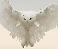 Snowy owl by Barbara J. Fleming