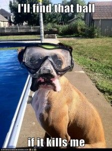 """I'll find that ball if it kills me."" ~ Dog Shaming shame - Summertime Exercise & Your Dog = Boxer on a mission!"