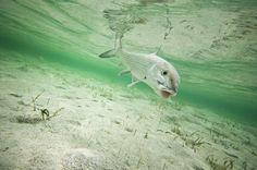 Bruce Chard, bonefishing, fly fishing for bones, bahamas bonefishing