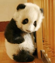 Cute Baby Panda | ... cute, and then there's baby panda cute  baby-panda #babypanda #panda