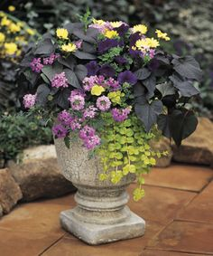 'Black Velvet' is a good choice for a full sun combination in spring or summer, with contrast between dark leaves and bright blooms.   http://emfl.us/mVHd   #ProvenWinners color combo, potato vine, vines, colors, potatoes, black velvet, planter, garden, flower