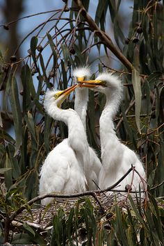 4 of 6 Great Egret (Ardea alba) nest with three chicks at the Morro Bay Heron Rookery. Cool!