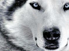 animals, wolf, wolv, husky, siberian huskies, beauti, dog, blues, eyes