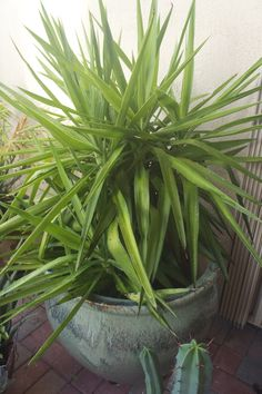 Potted Yucca Tree