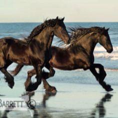The beauty of black horses!