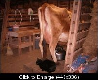 Keeping A Family Cow - *Milking Parlor Design