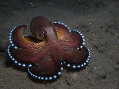 Amphioctopus marginatus, also known as the coconut octopus or veined octopus. Photo by scuba.hamburg, (Mario Neumann) via Flickr. It is found in tropical waters of the western Pacific Ocean.