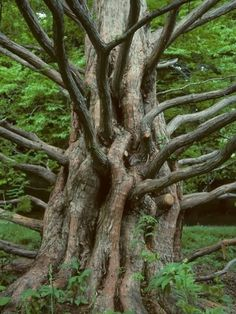 Magnificent Trees around the World !! Part 2 - The perfect Climbing Tree.