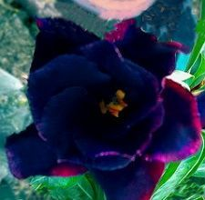 Adenium Obesum (Desert Rose) Double Black King