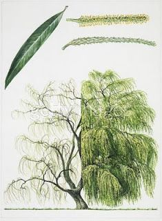 survival medicine, willows, tree, cottages, willow bark