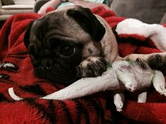 zoeythepug:  This is my dinosaur.