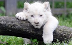 A white lion cub at Pont-Scroff's zoo in Pont-Scorff, western France [Photo: Fred Tanneau]