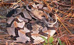 Canebrake/Timber Rattlesnake