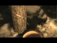 Sugar of the Woods Series Part 7 V Slash Maple Tapping!