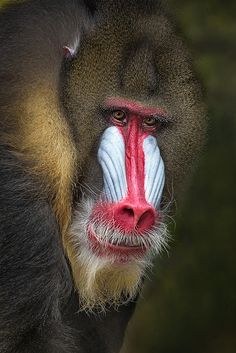 """The character Rafiki in Disney's """"The Lion King"""" is referred to as a baboon. But take a closer look, and you'll see he has the colorful face of a mandrill."""