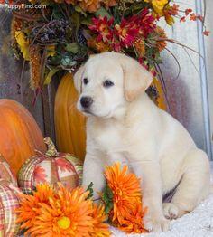 Labrador Retriever puppy!