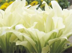 hosta 'white feather'