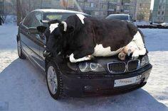 BMW w/ successful cow catcher