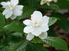 pictures of gardenias - Google Search
