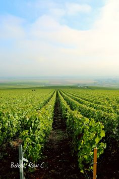 Harvesting Champagne with Veuve Clicquot