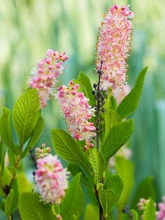 Summersweet  With a name like summersweet, you can guess that this shrub's pink or white flowers are fragrant. It's one of the few shrubs that bloom well in shade, although it also will grow in full sun in the north, provided it has adequate moisture.  Name: Clethra alnifolia  Growing Conditions: Full sun to shade and moist soil  Size: 3-5 feet tall and wide  Zones: 3-9