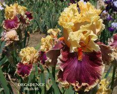 decadence bearded iris