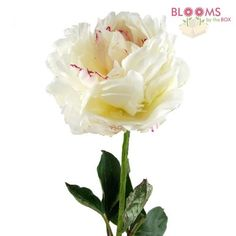 Wholesale Peony White - Blooms by the Box