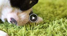 Dogs and Mice are NOT Always Enemies… Watch! → http://www.bterrier.com/?p=16495 - https://www.facebook.com/bterrierdogs
