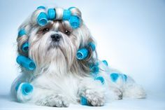Dog Grooming Tips - Grooming small dogs doesn't have to be a problem! Check out this article how you can groom your small dog effectively - LOL ♥ this!