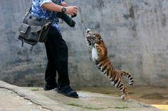 rawr, big cat, pictur 21, furri friend, funni anim, beauti anim, fierc babi, babi tiger, tigers