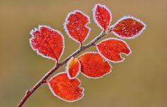 frozen leaves...Winter in Denmark by Fc Nikon on Flickr.