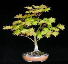 Acer japonicum 'Aureum' / Gold Maple