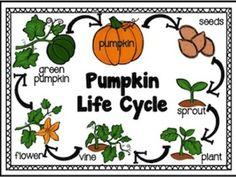 pumpkin preschool theme, pumpkin growing, life cycl