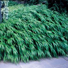 Japanese Forest Grass Plant (shade - zone 9 - slow grower)
