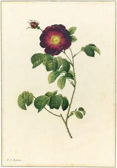 Pierre-Joseph Redouté (French, 1759-1840)   -   Rosa Gallica Maheka.  Watercolour over pencil with touches of gum arabic on vellum, 38,8 x 2...