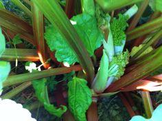 Rhubarb in April 2011