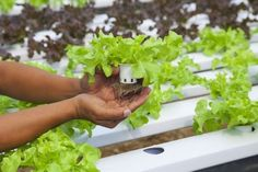 Learn How to Grow Plants Hydroponically